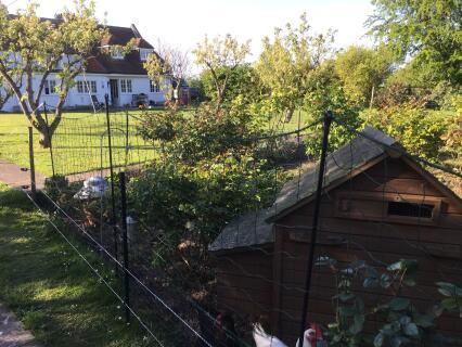 Chickens in the rose garden