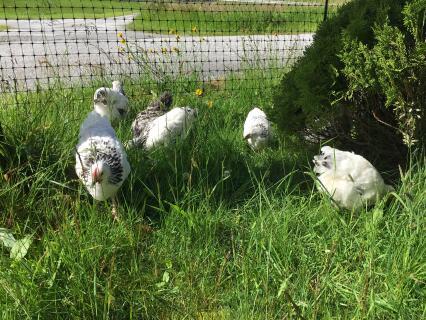 Hønsegjerde på Grotle