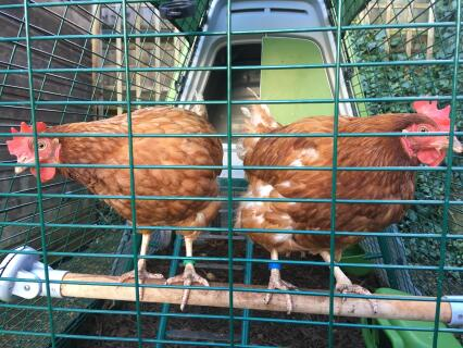 Edina chicken and Patsy chicken hang out on their perch!