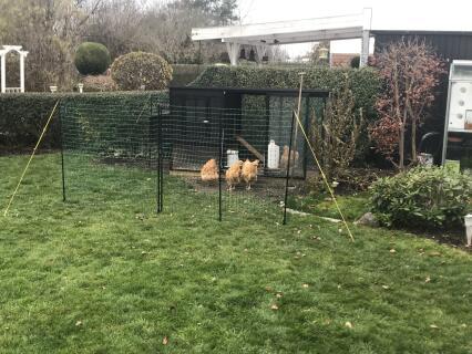 Nyt hønsehus med gul Orpington og Jeres 12m hegn