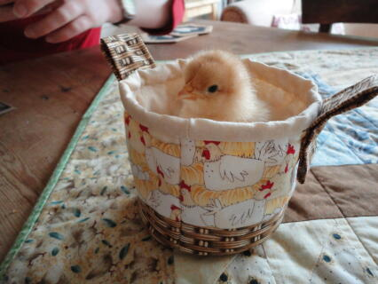 Chicky in a basket