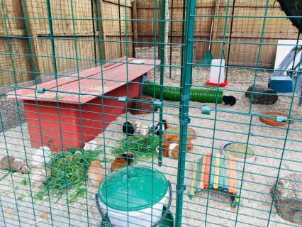 Our year round guinea pig run Saint Louis, MO