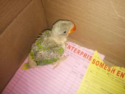 Alexendrine parrot