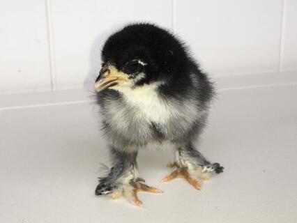 Week old Pekin Sablepoot