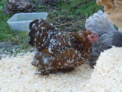 Milliefleur Pekin Hen