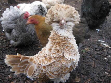 Frizzle Polish Hen