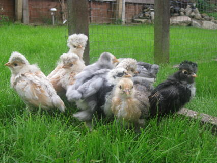 Mixed Colours of Pekin and Polish Chicks