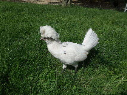 White Polish Hen