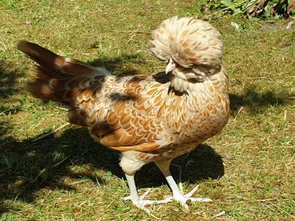 Poule padoue chamoisée