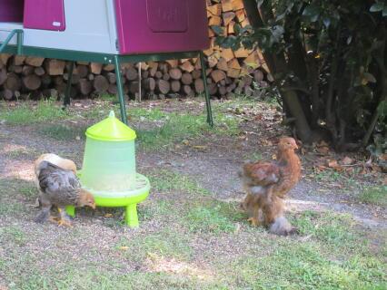 poulette et coquelet