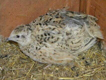 a jumbo giant quail