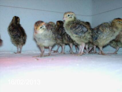 Coturnix Quail chicks