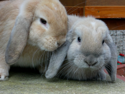 Two Little Mini Lops