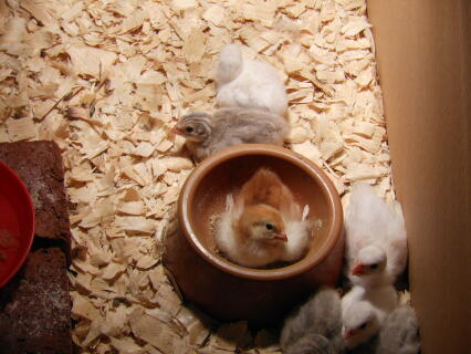 Rhode Island Red chick in a red food bowl