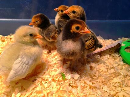 My Rosecomb Bantam chicks- 9 days old