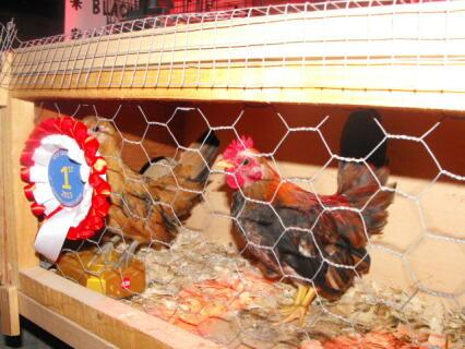 Malaysian Serama Cock bf