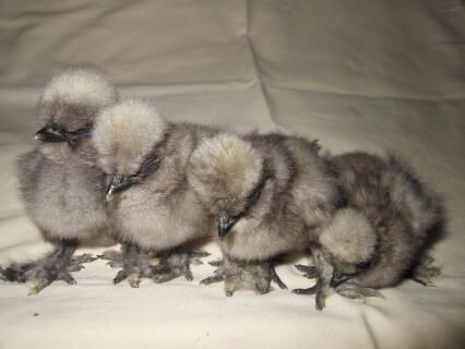 Blue Silkie chicks