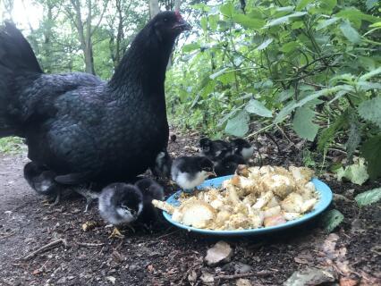 Moeder Sumatra kip