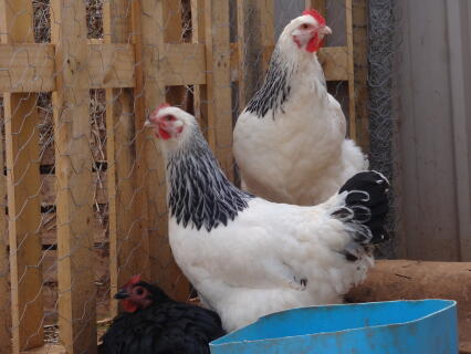 Omelette and Marshmallow the Light Sussex hens