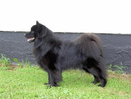 Svensk Lapphund
