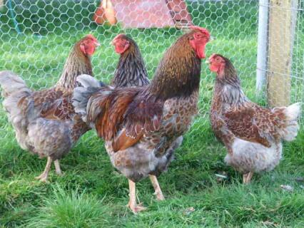 Blue laced wyandottes