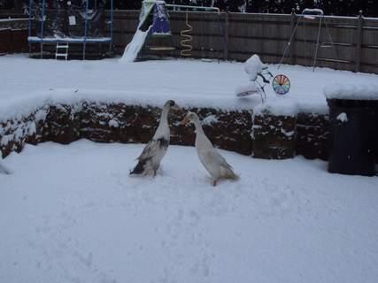 shall we do a snow duck