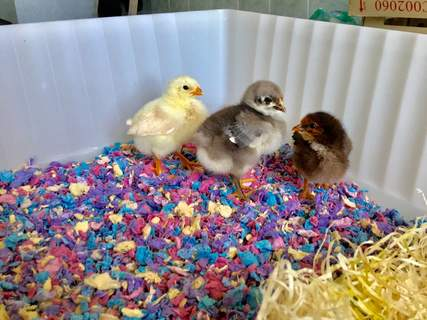 Christabel, Adeline, and Florence, in their first day at home