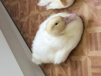 9 week old very tired Aylesbury duck