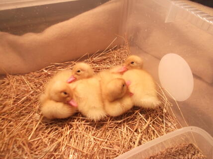 4 little ducklings all in a row!