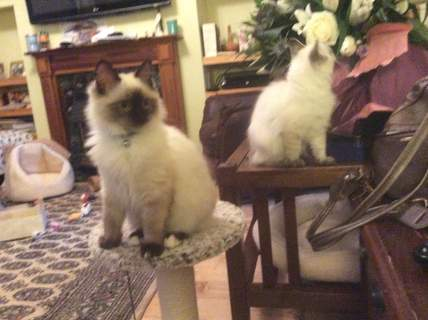 Two of my ragdolls