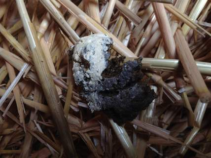 Chicken droppings often have a white peak