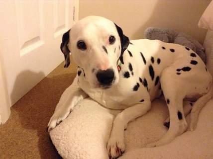 My Dalmatian Purdy