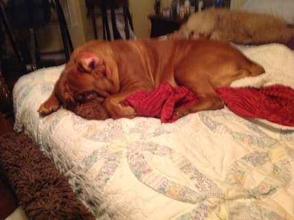 Lazy Dogue