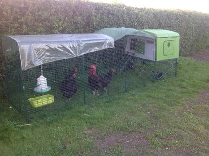 Marans in new home
