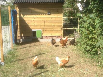 Des poules heureuses et indépendantes grace a la porte automatique Omlet.