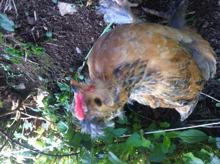 My chick Hope