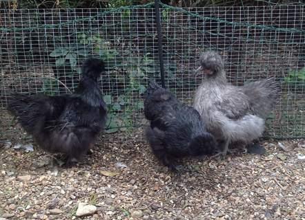 3 Silkie Bantam Hens