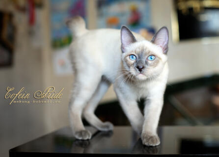 Mekong BOBTAIL kitten blue-point of Cofein Pride, mekong-bobtail.ru, WorldWide shipping of kittens