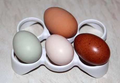 Eggs from Ex battery hen (top), cream legbar, salmon faverolles and black copper marans