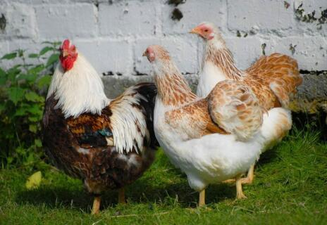 wyandotte cock and hens
