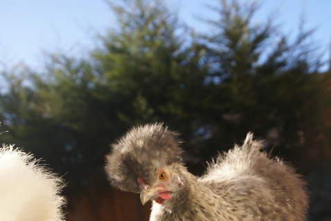Our Blue silkie Bluebell Ethel Saying Hi!