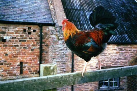 welsummer cock bird
