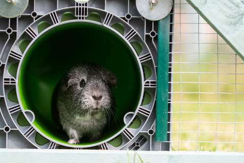 Shackleton the Guinea Pig coming out of her Omlet Zippi Tunnel