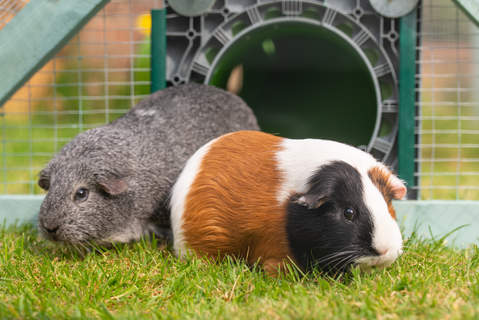 The guinea pigs arriving in their new run courtesy of their Zippi Omlet tunnel
