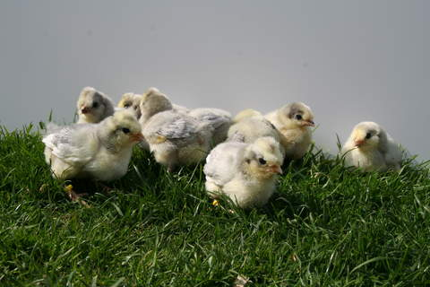 2 week old chicks