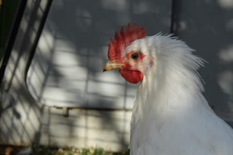 We love having a cockerel some are even friendlier than our hens!