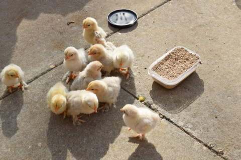 chicks outside for the first time
