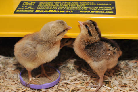 Boy (l) and girl (r) legbar chicks