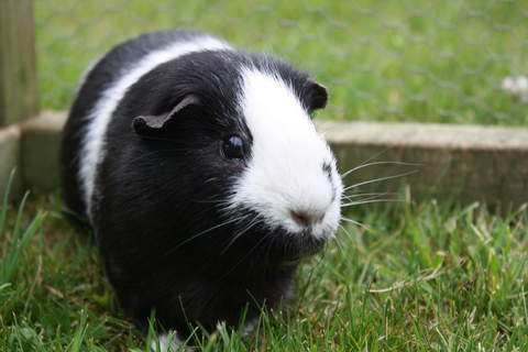 Nutty! smoothcoat guinea pig