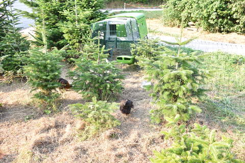 Hühner in Weihnachtsbaumkultur